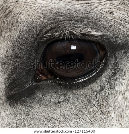 Close-up of an Andalusian eye, 7 years old, also known as the Pure Spanish Horse or PRE - stock photo