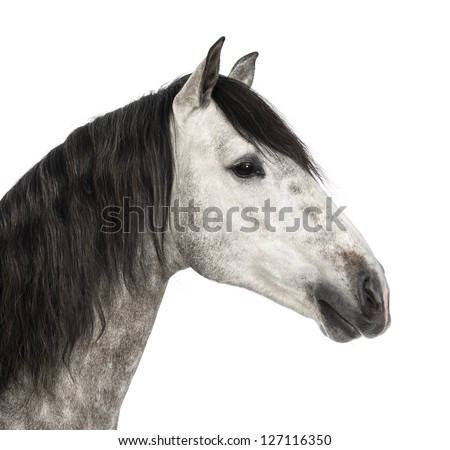 Close-up of an Andalusian head, 7 years old, also known as the Pure Spanish Horse or PRE against white background - stock photo