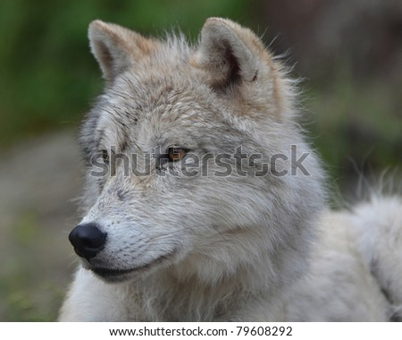 Close up of an Artic Wolf basking in the sun. - stock photo