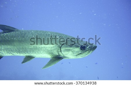 Close up of an Atlantic Tarpon on a coral reef