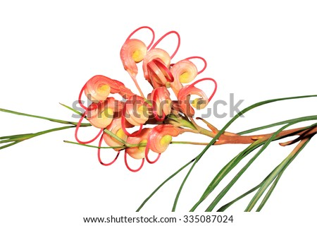 Close up of an Australian native grevillea flower isolated on a white background - stock photo