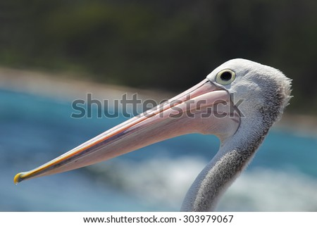 Close up of an Australian Pelican (Pelecanus conspicillatus) at the coast in South Durras in the Murramarang National Park, Australia.