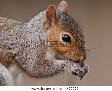 close-up of an eastern grey squirrel eating a seed