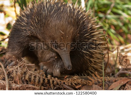 Close up of an echidna, a native Australian animal, foraging for food.