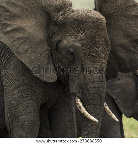 Close-up of an elephant, Serengeti, Tanzania, Africa - stock photo
