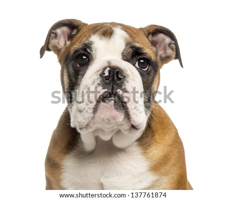 Close-up of an English Bulldog puppy, 3,5 months old, isolated on white - stock photo