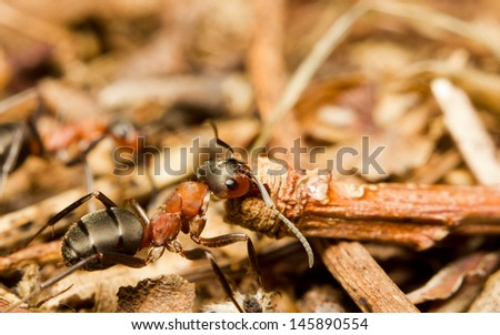 Close-up of an European red wood ant (Formica rufa) dragging vegetation to the colony - stock photo