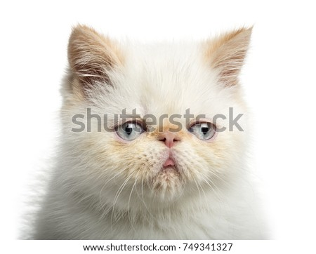 Close-up of an Exotic Shorthair kitten, 2,5 months old, isolated on white