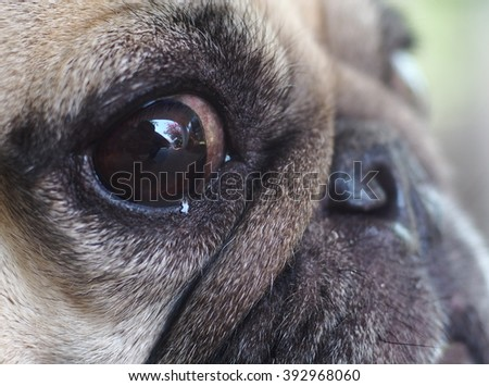 close up of an eye of a small white fat pug dog with expression of thinking, unhappy, lonely and looking for love