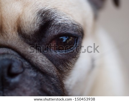 close up of an eye of a small white pug with expression of thinking, unhappy, angry, killer and fighting instinct