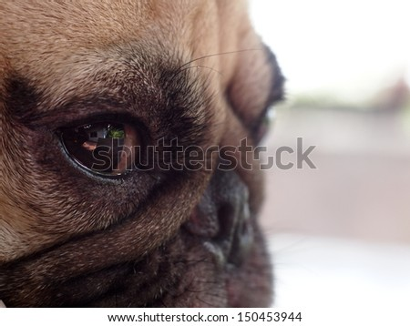 close up of an eye of a small white pug with expression of thinking, unhappy, angry, killer and fighting instinct,  - stock photo