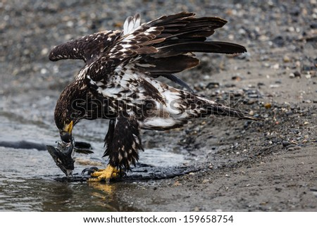 Close-up of an immature bald eagle standing on pebble beach ripping apart a salmon to eat - stock photo