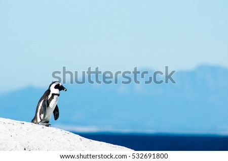 Close up of an Isolated African penguin at Boulders Beach  in Simon's Town, South Africa.