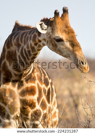 Close up of an Isolated Giraffe eating