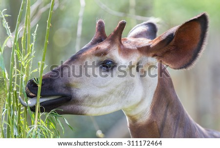 Close-up of an okapi eating, natural habitat - stock photo
