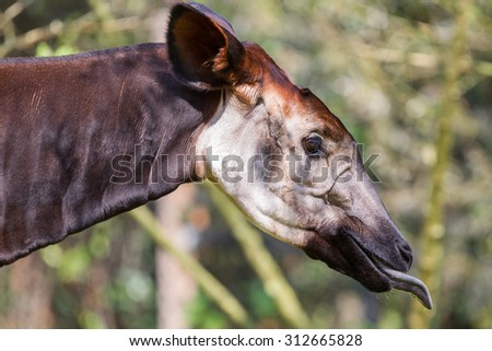 Close-up of an okapi eating, natural habitat