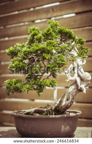 close up of an old bonsai tree in a  flower pot - stock photo