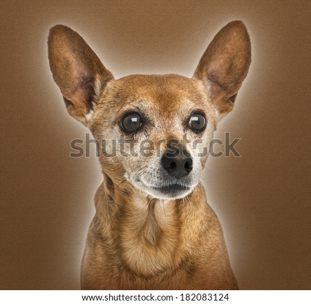 Close-up of an old German pinscher, 13 years old, on brown background