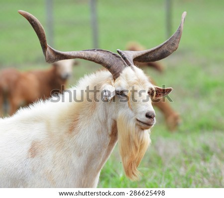 Close up of an old goat in a farm field - stock photo