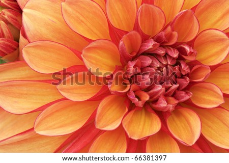 Close-up of an orange and red dahlia showing its textures, patterns and details - stock photo