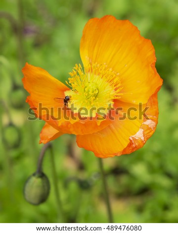Close up of an orange poppy flower