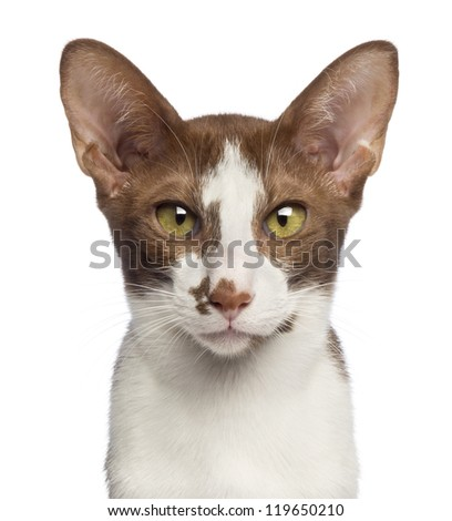 Close-up of an Oriental Shorthair looking at camera against white background - stock photo