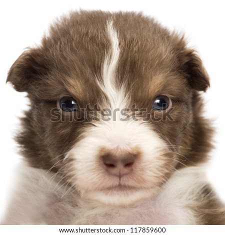 Close-up of an upset Australian Shepherd puppy, 22 days old, portrait against white background