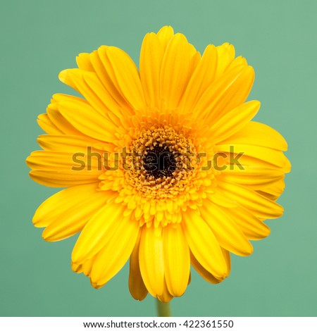 Close up of an yellow gerbera flower on a vintage turquoise background - stock photo