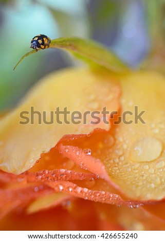close up of an yellow ladybug with water drops - stock photo