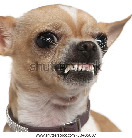 Close-up of angry Chihuahua growling, 2 years old, in front of white background - stock photo