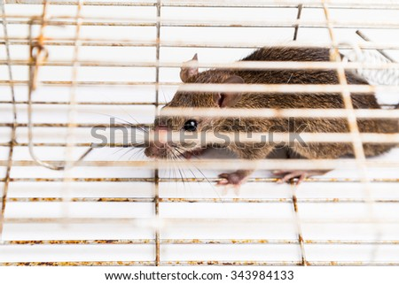Close up of anxious rat trapped and caught in metal cage from top angle