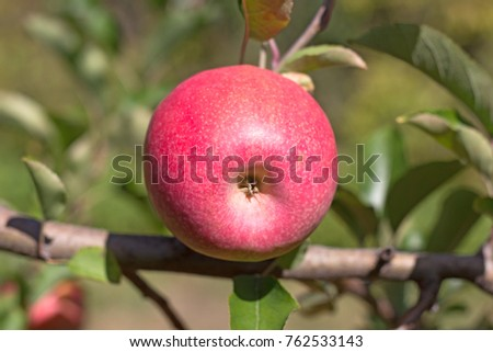 Close-up of apple calyx. Ripe Fiji apple on a branch in late October.