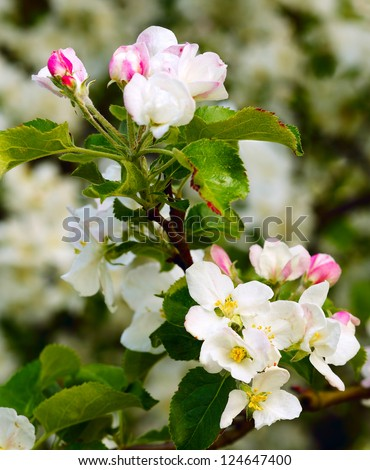 Close up of apple flowers in the warm evening sun, spring, by Beckingen, Saarland / Germany - stock photo
