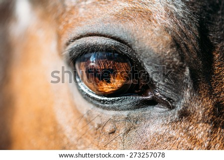 Close Up Of Arabian Bay Horse- Very Shallow Field Of Depth - stock photo