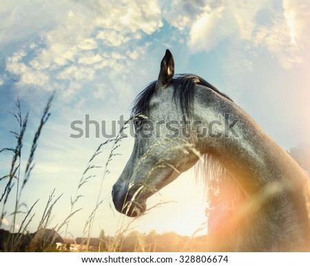 Close up of arabian horse portrait over sunset nature background - stock photo