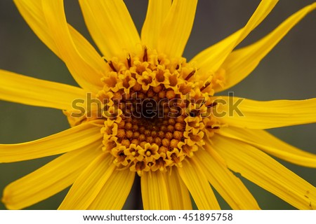 close up of Arnica Montana flower, a medicinal plant from the mountains - stock photo