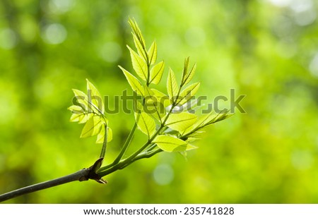 Close-up of ash tree (Fraxinus) new twig with compound leaves over spring forest light background  - stock photo