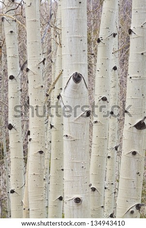 Close up of Aspen Trees forest trunks and bark high up in the Colorado Rockies. Portrait vertical image. - stock photo