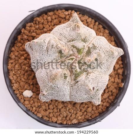 Close up of astrophytum myriostigma kikko onzuka cactus in a pot. - stock photo