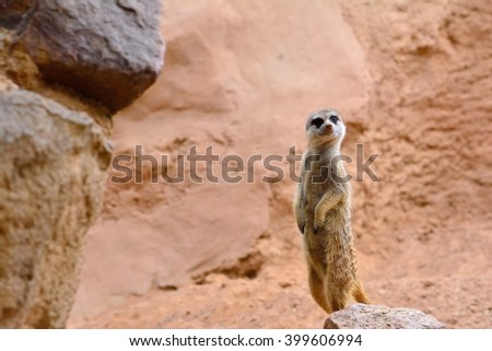 Close-up of attentive suricate standing on rock. Sandy background
