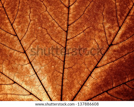 Close up of autumnal maple leaf - stock photo