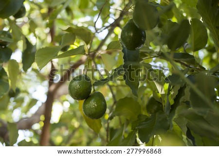 Close up of Avocados growing on tree. - stock photo