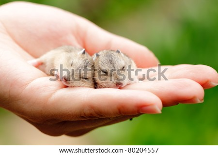 Close-up of baby hamsters being held in hand - stock photo