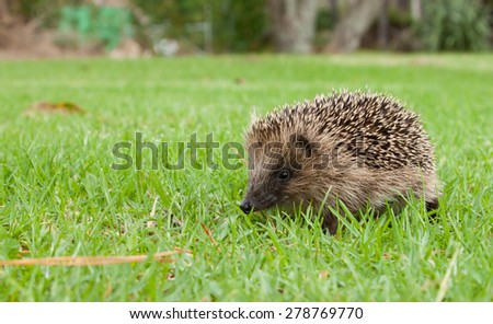close up of baby hedgehog  - stock photo