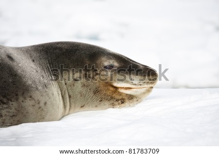 Close up of baby seal resting. Antarctica