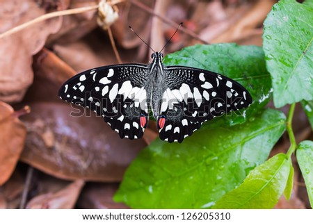 Close up of back side of the lime butterfly sunbathing on leaves on the ground - stock photo