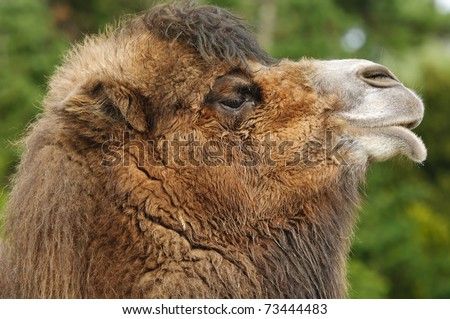 Close up of Bactrian Camel (camelus bactrianus)