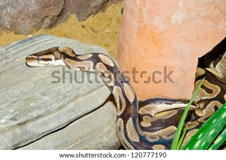 Close up of Ball Python or Royal Python, Thailand. - stock photo