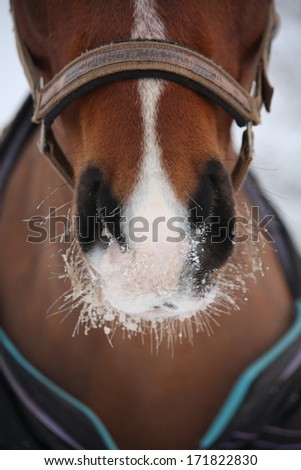 Close up of bay horse nuzzle in winter - stock photo