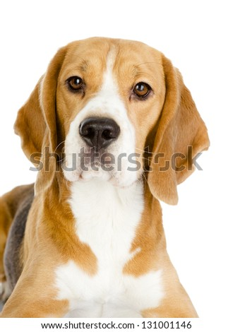 Close-up of Beagle puppy in front. isolated on white background